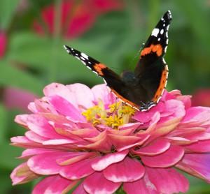 Schmetterlingsorgan Schilddrüse